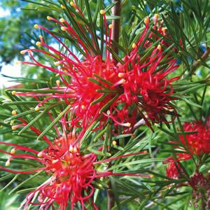 Grevillea Winpara Gem 01 - Garden Express Australia