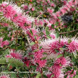 Hakea Burredong Beauty - Garden Express Australia