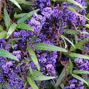 Hardenbergia Happy Wanderer 14 - Garden Express Australia