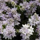 Hebe-buxifolia-16