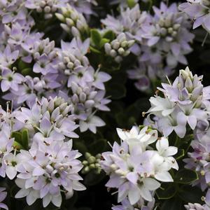 Hebe Buxifolia 16 - Garden Express Australia