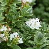Hebe-buxifolia-GL-16