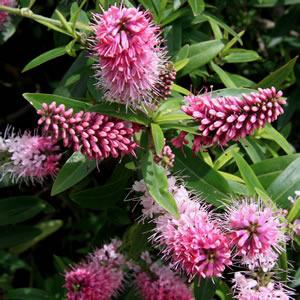 Hebe Marie Antoinette 16019689 - Garden Express Australia