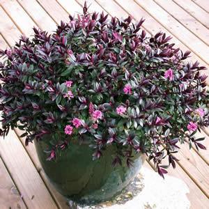 Hebe Pretty N Pink - Garden Express Australia