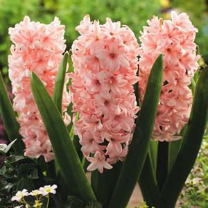 Hyacinth_China_Pink_15