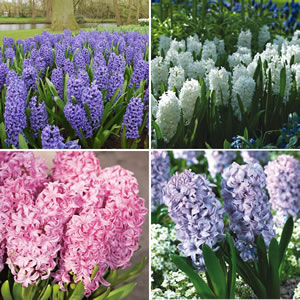 Hyacinth_Collection_15