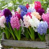 Hyacinth Mixed 16