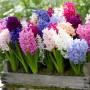 Hyacinth Mixed
