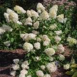 Hydrangea-paniculata-16