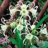 SPIDER LILY- HYMENOCALLIS