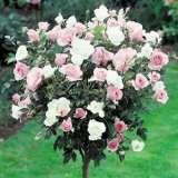Twin Colour Standard Rose Iceberg/bonica