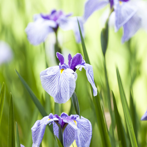 Japanese Iris Returning Tide