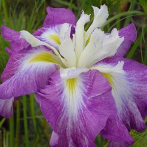 Japanese Iris Kings Court 14 - Garden Express Australia
