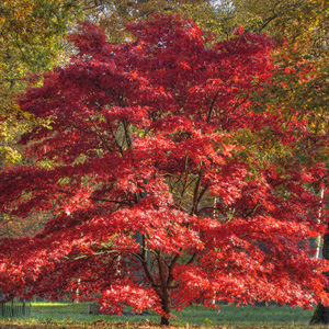 Japanese Maple – Tree
