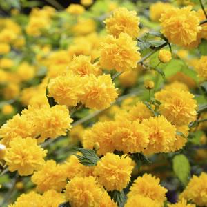 Japanese Yellow Rose