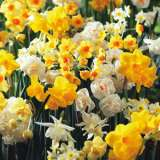 Jonquil Mixed