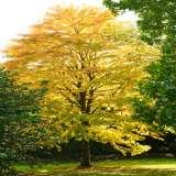 Katsura-Tree-16