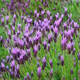 Lavender Avonview
