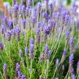 Lavender-French-16
