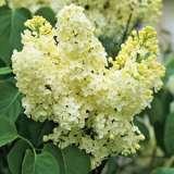 Lilac Primrose 14