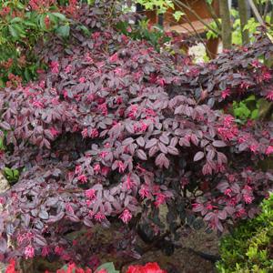 Loropetalum China Pink