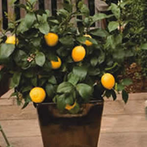 Lots A Lemon 10
