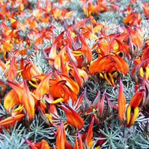 Lotus Berthelotii 14 - Garden Express Australia