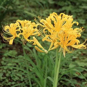 Lycoris Gold 2014 - Garden Express Australia