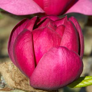 Magnolia Black Tulip (pbr)
