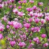 Magnolia Felix 16