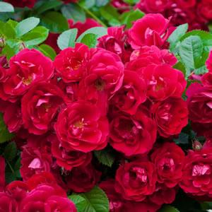 Rose Mainaufeuer