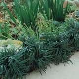 DWARF GREEN MONDO GRASS