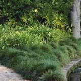 TALL GREEN MONDO GRASS