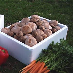 Mushroom Kit Swiss Brown/portabello