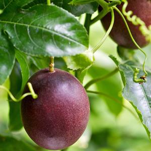 Passionfruit Vine 2014 - Garden Express Australia