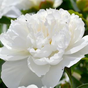 Peony Rose Ladybird 16