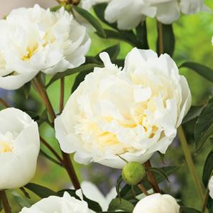 Peony Rose Ladybird 14 - Garden Express Australia