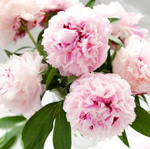 Peony Rose Sarah Bernhardt 12