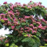 Persian_Silk_Tree_15_ST_185405333