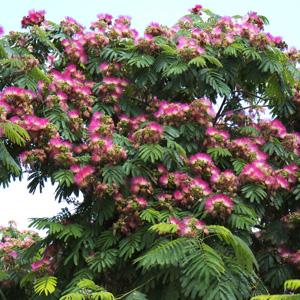 Persian Silk Tree Garden Express