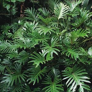 Philodendron Xanadu Garden Express