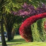 Photinia-Hedge-17