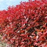 Photinia-red-Robin-16