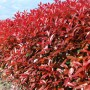 Photinia-red-Robin-16
