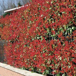 Photinia Rubens