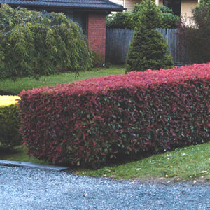 Photinia_hedge2013