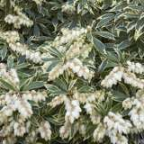 Pieris_Variegated_14
