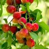 TREE FRUIT – PLUM SANTA ROSA**