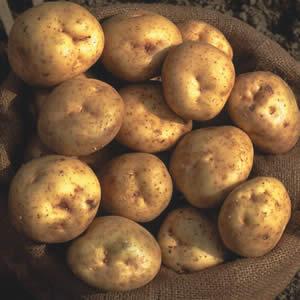 Potato Sebago New 01