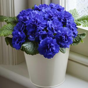 Primula Belarina Cobalt Blue 16jpg